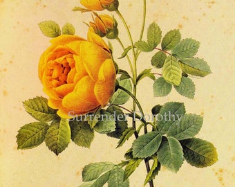 Yellow Sulphur Rose Rosa Hemisphaerica Vintage Flower By Redoute Botanical Lithograph Poster Print To Frame 86