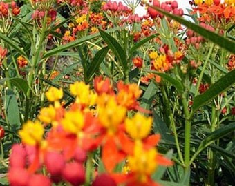 Mexican Butterfly Weed- 100 Seeds