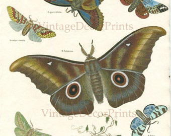 Saturnus Moth Print. 1806. The largest Moth known. Hand Painted in Watercolor - Decorative Entomology Print - Lepidoptera - Bombyx