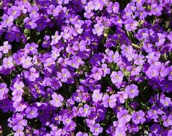 Rock Cress (Aubrieta Hybrida Hendersonii) Seeds, Rock Cress Seeds, Rock Cress Pale Blue Seeds