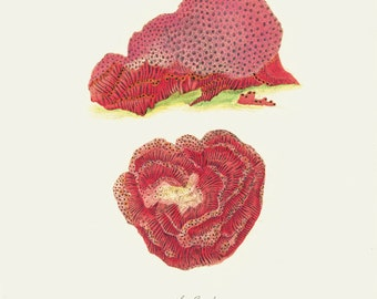 Vintage Sea Coral Print 8x10 P163