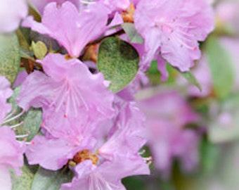 Rhododenron no. 1