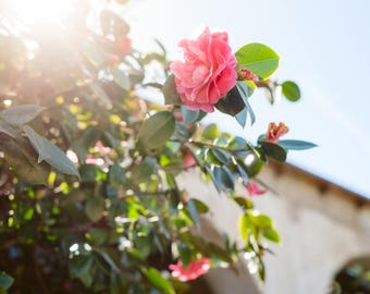 Here Comes the Sun - California, Camellia, Floral, Fine Art Photography Print