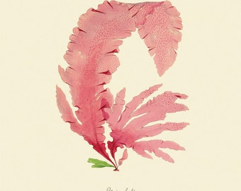 """Vintage Sea Weed """"Nitophyllum"""" Print 8x10 P181"""