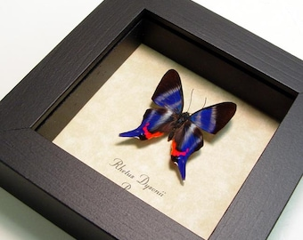 Real Sapphire Butterfly Conservation Quality Display 114