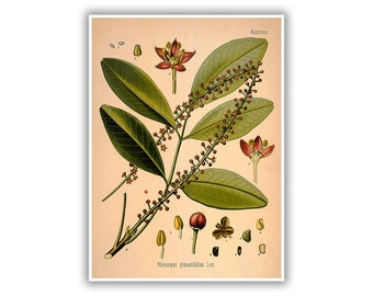 Jaborandi Botanical Print, Pilocarpus, Plant Botany Illustration, Garden Herb Art Poster, Medicinal Plants, MOBO49