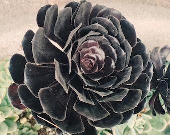 Succulente photo - tirage d'art - nature photographie - fleur du désert - décoration de salle de séjour