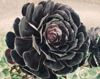 Succulent Photograph - fine art print - nature photography - desert flower - living room decor