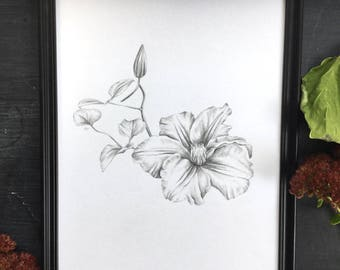 Clematis - original drawing