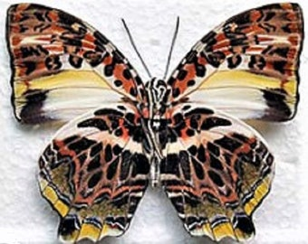 One Real Butterfly Red Pink Agatasa calydonia