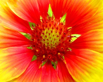 Mexican Blanket Flower Photo