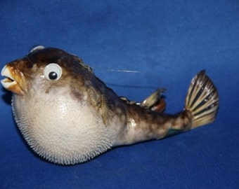 """1, 5"""",PARROT FISH,Taxidermy,Sea life, Marine Life,Trophy, Preserved Parrot fish-free shipping"""
