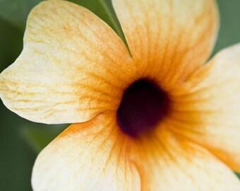 Black Eyed Susan Vine (10 thru 1 LB seeds) Stunning Rapid Southern Trellis! #80