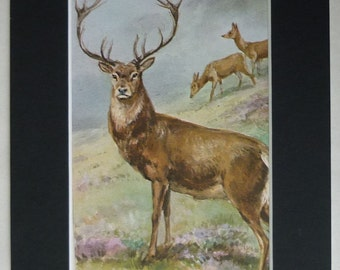 1950s Vintage Natural History Print of a Red Deer Stag by Roland Green British nature art, beautiful heathland picture - Old Scottish Gift