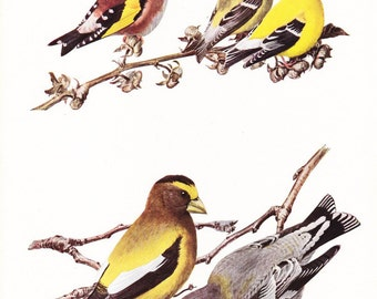 1917 Bird Print - Plate 79 - Goldfinch - Vintage Antique Art Illustration by Louis Agassiz Fuertes 100 Years Old