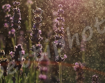 lavender#flower#dew#jpeg#instant download#