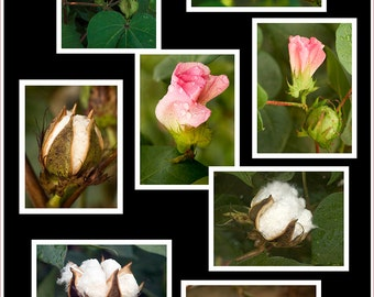 Cotton Series Note Cards (8)