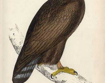 handcoloured engraving 'Golden Eagle' 1860