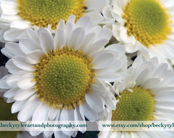 Chrysanthemum Fine Art  Photo Print