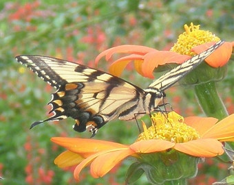 Butterfly on a Flower-- Park Series Photo 5x7 and 8x10 available