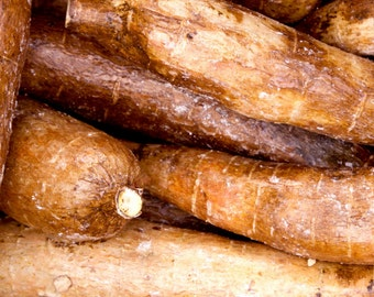 "Yuca Root (Manihot esculenta)  Live Plant Ships in 100% Biodegradable 4"" Coconut Fiber Planter"
