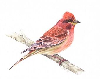 """Watercolor Print  """"Cassin's Finch"""" Bird Art, Bird Print, Wall Decor, Bird Nursery print"""