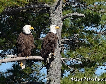 Pair of Bald Eagles, Wildlife Photography, Birds of prey, Bald Eagle Photos, Nature Photography, Bald Eagle Couple