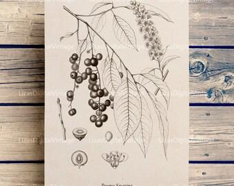 Tree print, Wall art prints, Vintage botanical prints, Botanical chart, Tree printable, Print download, Rum cherry tree, PNG JPG 300dpi