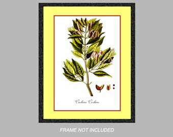 Medical Botanical Prints - Cinchona Caribaeu - 8x10, 11x14, and 16x20 - Wall Art - Digital Matte - Ready to Frame - Vintage Restored