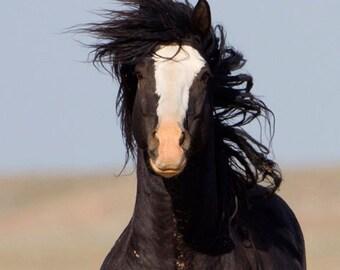 Black Stallion Runs Close - Fine Art Wild Horse Photograph - Wild Horse - McCullough Peaks - Utah - Fine Art Print