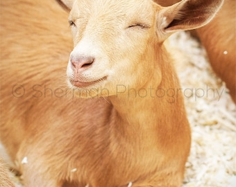 Goat Photography - Farm Photo - Barn Print - Rustic Art - Rustic Photography - Goat Art - Farm Decor - Rustic Decor - Happy Art Photography