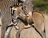 BABY ZEBRA and MOM Photo ...