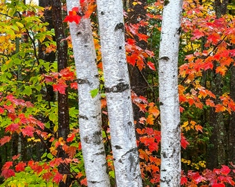 Heading Into Baxter State Park - Fine art intimate landscape photograph of foliage and birch trees near Baxter State Park - October 7, 2013