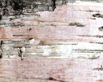Birch Bark, cropped 13x19 fine art color photograph, nature, tree, paper, pink, earth
