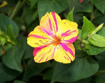 Heirloom 50 Seeds Mirabilis jalapa 4 Four O'clock Beauty of the Night Two-toned Flower Seed B5091