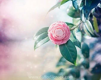 Flower Photography, Shabby Chic Wall Decor, Camellia Photo, Pink Wall Decor, Girls Nursery Wall Art, Shabby Chic Wall Art, Pink Wall Art