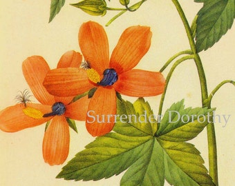 Hibiscus Tree Mallow Latatera Phoenicia Flowers Vintage Illustration Wildflower Lithograph Redoute Botanical Print To Frame 59