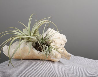 Old conch air plant