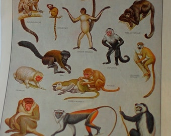 Monkey Vintage Dictionary Art Print Color Plate Animal Decor 1950s Naturalistic Merriam-Webster