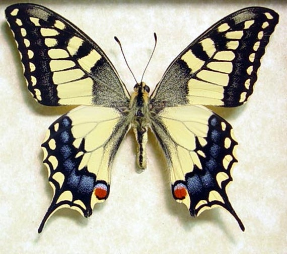 Japanese Butterfly Pap...