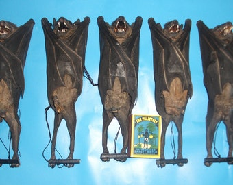 Taxidermy real fruitbat hanging bat Rousettus leschenaulti lots 5 pcs