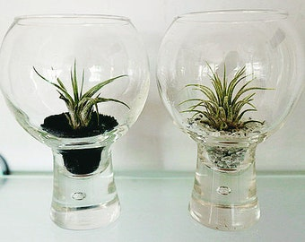 Tillandsia (Air Plant) in Glass Bubble Effect