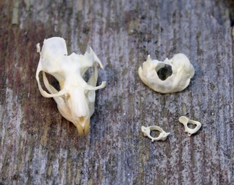 Real Vole Skull Rodent Partial Bones Jaw Mandible
