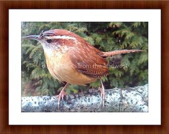 Midwest Bird Photo of a Carolina Wren.
