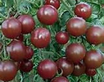 Black Cherry Heirloom Tomato Seeds, Naturally Grown in the Pacific NW