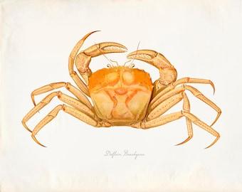 Vintage Dolfein Brachyura Crab Drucken 8 x 10 P212