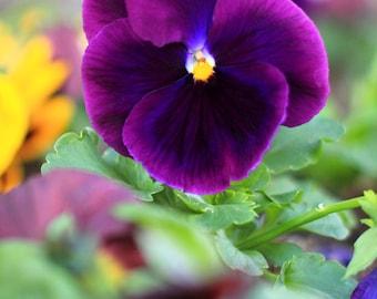 Plum Pretty Pansy - Flower Photography - Photo Print - Size 8x10, 5x7, or 4x6