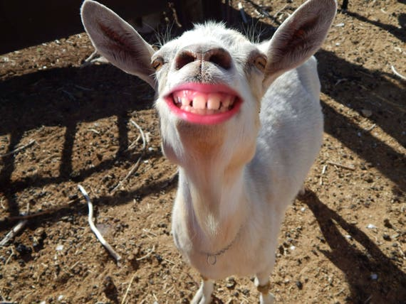 Funny Pictures Of Goats smiling goat wa...