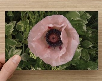 Pale Pink Poppy Macro Floral Nature Photography on Blank Note Card - Poppy Photo All Occasion Card ~ August Flower