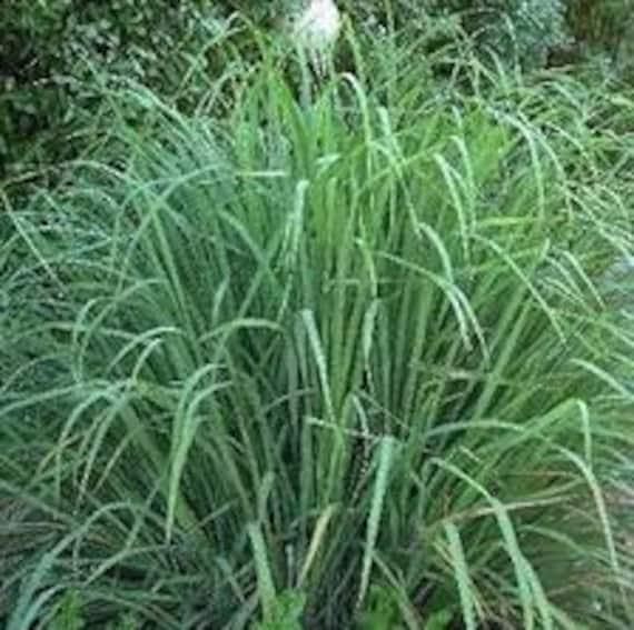Heirloom lemon grass seeds perennial ornamental grass turns like this item workwithnaturefo